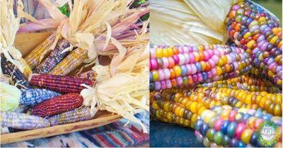 Agricultor recupera hermosa variedad de Maíz ancestral que todos quieren tener