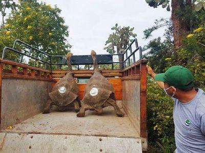 La tortuga Diego, que salvó a su especie, fue devuelta a su isla en Galápagos