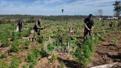 Policía Nacional destruyó 7 hectáreas de marihuana en Canindeyú