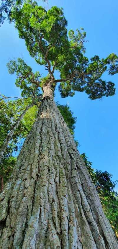 Día Nacional del Árbol: Un yvyraromi de 400 años se destaca en la reserva de Itaipú