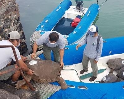 La tortuga que salvó a su especie de la extinción: Diego regresa a casa tras 87 años