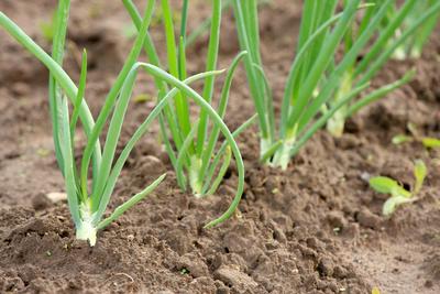 EBY incentiva la producción de cebollas para el autoconsumo en Ayolas