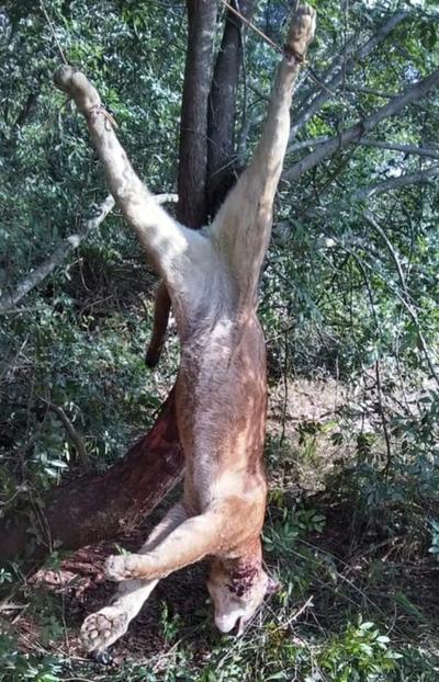 Cazadores furtivos abatieron un puma en reserva forestal de Itaipu