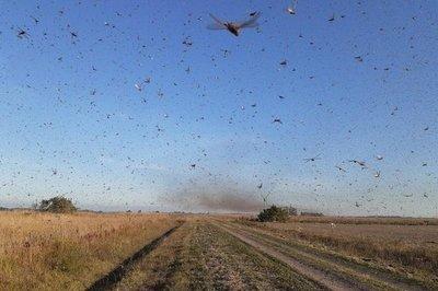Invasión de langostas en provincia argentina: piden a productores comunicar avistamientos en Paraguay