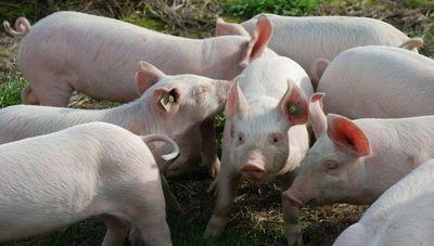 Producción porcina se mantiene estable pero con demanda reducida