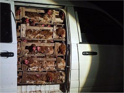 Incautan en Curuguaty 46.000 huevos y 500 gallinas de contrabando