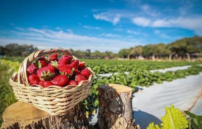 Productores de frutilla solicitan autorización para realizar expo