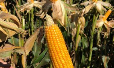 » Calidad del maíz es buena pese a los bajos rendimientos