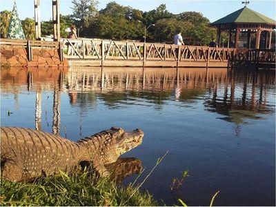 Se registra la mayor presencia de yacarés en la laguna de Itá