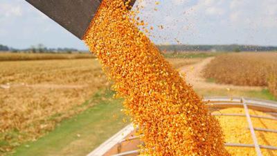 Calidad del maíz es buena pese a los bajos rendimientos