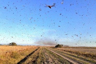 Plaga de langostas pasó de Paraguay a Argentina y preocupa a autoridades del Mercosur