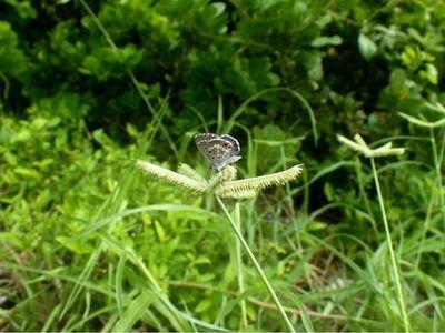 La mariposa azul de Miami lucha por sobrevivir