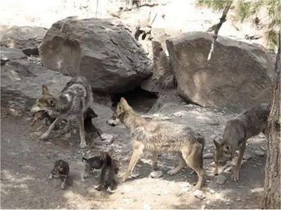 Nacen ocho cachorros de lobo gris en México, especie en peligro