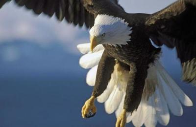 Un águila atrapa con sus garras un tiburón y se lo lleva volando
