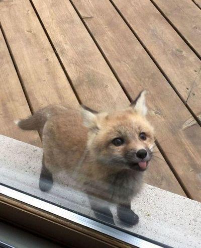 Unas crías de zorro visitaron su casa y las fotos que publicó se viralizaron