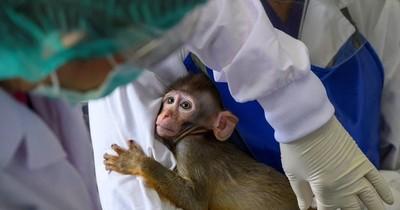 Monos infectados con nuevo coronavirus desarrollaron inmunidad a corto plazo