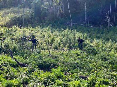 Anulan 201 toneladas de marihuana en tres días de operaciones