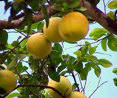 Vendedor podría ir a Tacumbú por robar pomelos