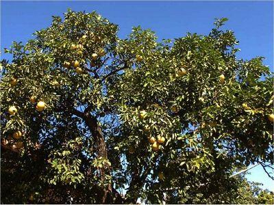 Defensora pide al juez nueva revisión por caso de pomelos