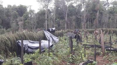 En zona de la masacre de Curuguaty caen 500 toneladas de marihuana